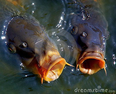 Carps in water