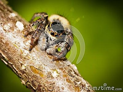 Carrhotus Xanthogramma jumping spider