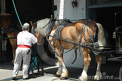 Carriage Horse Charleston