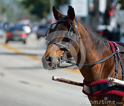 Carriage horse in St. Augustine, Florida