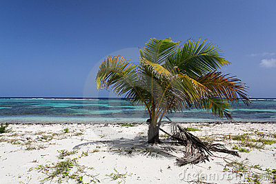 Carribean Palm tree with coconuts