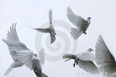 Carrier pigeons