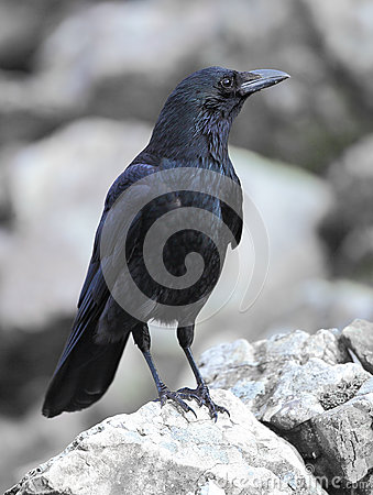 Free Carrion Crow Royalty Free Stock Photography - 41004307