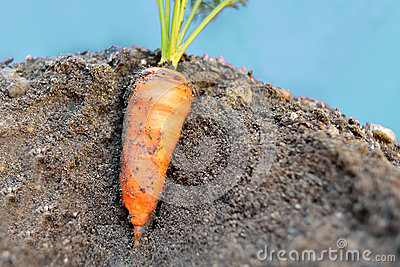 Carrot in the ground