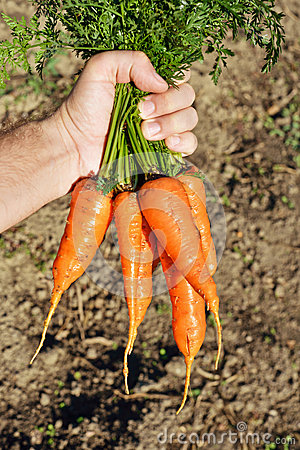 Carrot in hands