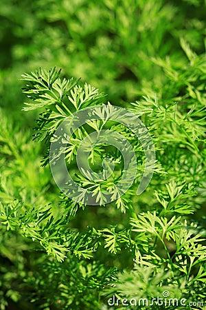 Carrot leaves