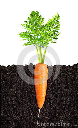 Carrot with leaves