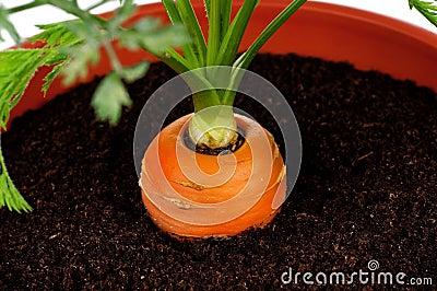 Carrot in plastic pot