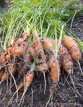 Free Carrots Royalty Free Stock Image - 15932096