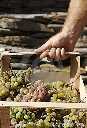 Carry grapes