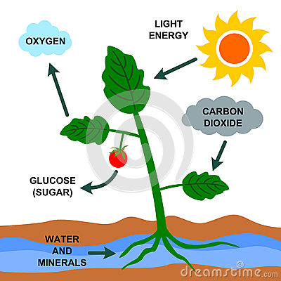cartoon-illustration-photosynthesis-process-29925058.jpg