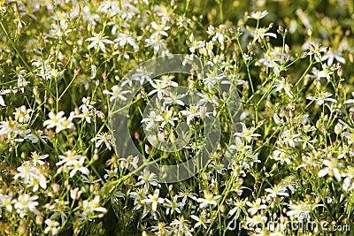 Caryophyllaceae / Gypsophila sp. White flowers.