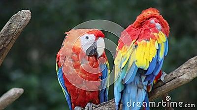 Casal de papagaio video estoque