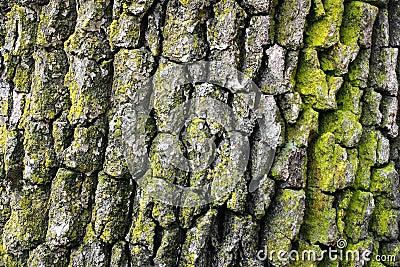 Casca de árvore do carvalho
