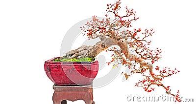 Cascade bonsai plant