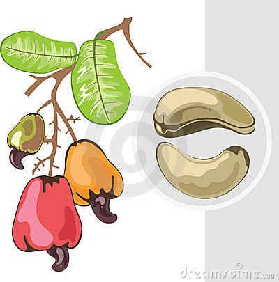 Free Cashew. Branch With Fruits And Nuts. Stock Images - 22806064
