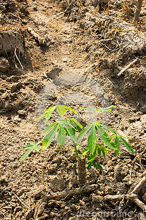 Free Cassava Or Manioc Young Plant Field Royalty Free Stock Image - 53040416