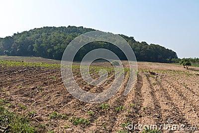 Cassava plantation.