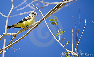 Cassin s Kingbird