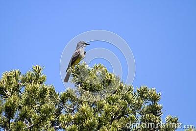 Cassin s Kingbird, Tyrannus vociferans