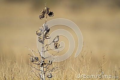 Cassin s Sparrow, Aimophila cassinii