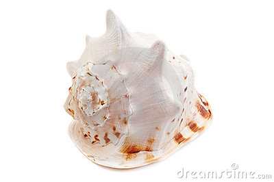 Cassis Cornuta sea shell
