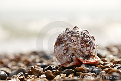 Cassis rufa seashell on sea pebbles