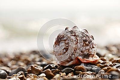 Cassis rufa seashell on sea pebbles