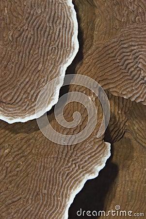 Castle coral (Pachyseris speciosa).