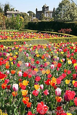 Castle garden Arundel tulips