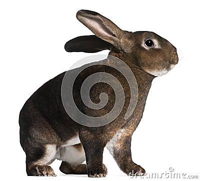 Castor Rex rabbit