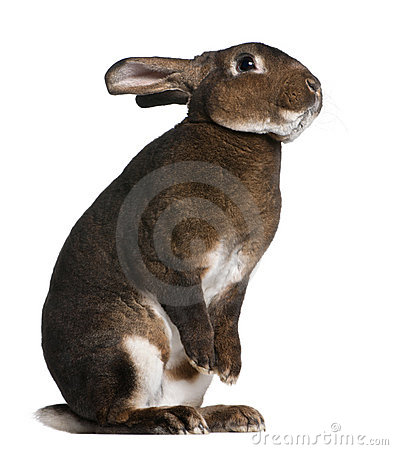 Castor Rex rabbit standing on hind legs