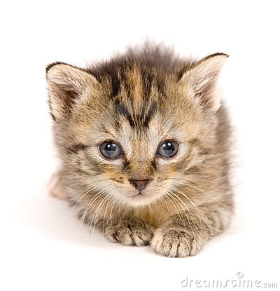 Free Cat At Rest On White Background Stock Images - 842054