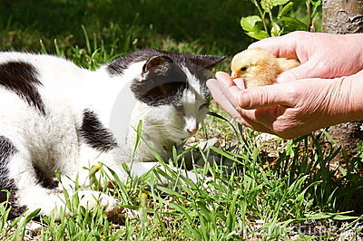 Cat and baby chick
