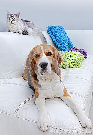 Cat and Beagle dog