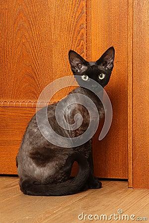 Cat breed Devon Rex