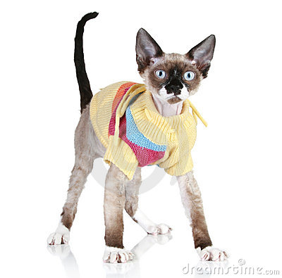 Cat breed Devon-rex in a sweater