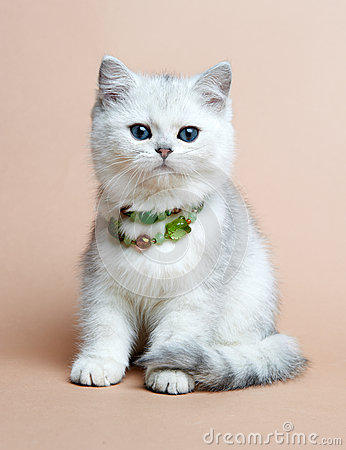 Cat of the British breed. Rare coloring - a silver
