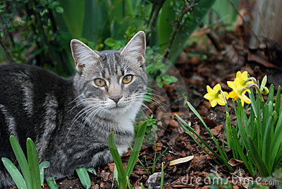 Cat with Dafodils