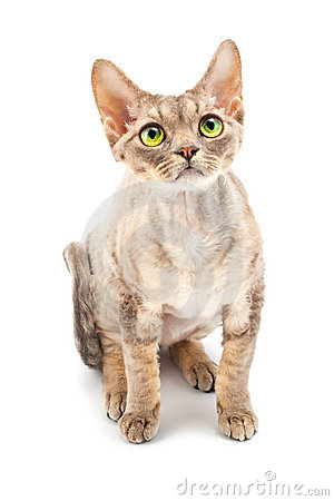 Cat Devon Rex