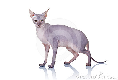 Cat of Don Sphynx breed
