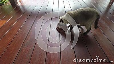 Cat Eating, Siamese bruine kat die binnen en begint zijn voedsel van een kom op de vloer van houten balkon te eten lopen stock videobeelden