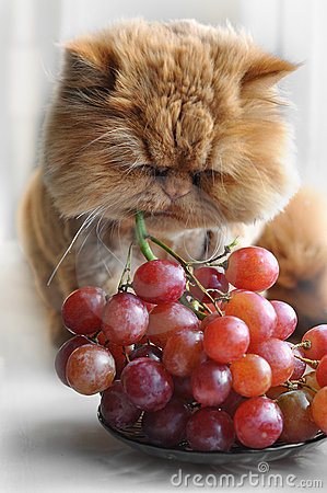 Cat eats grapes