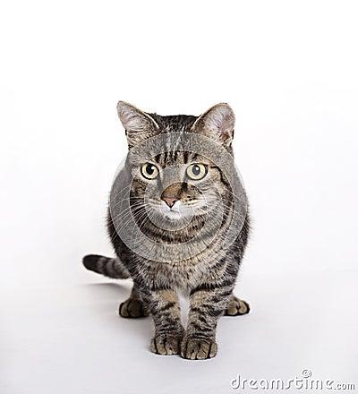 Cat, European Domestic