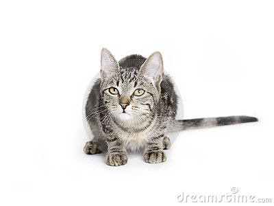 Cat, European Domestic Cat kitten