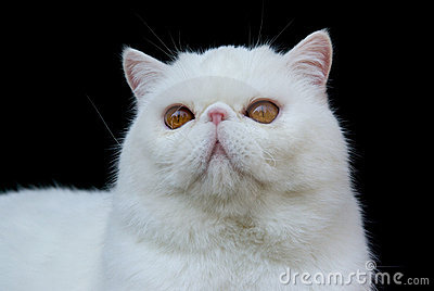 Cat Exotic Copper Eyed White