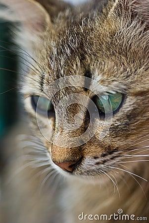 Free Cat Eyes Royalty Free Stock Photos - 15734778