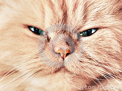 Cat face close up portrait