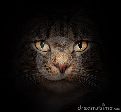 Free Cat Face With Beautiful Eyes Stock Photos - 23293783