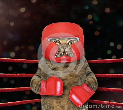Free Cat Fighter In Boxing Ring Royalty Free Stock Image - 122036326